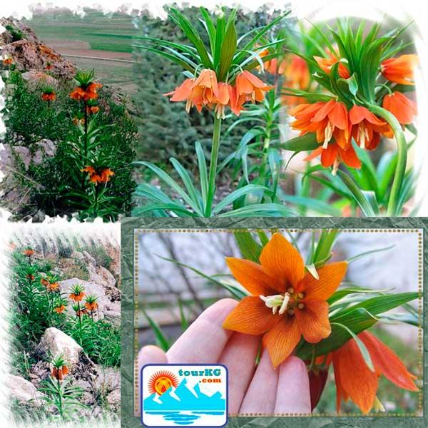 цветок Айгуль - уникальный дар Природы