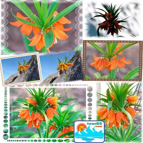 Достояние Кыргызстана - цветок Айгуль